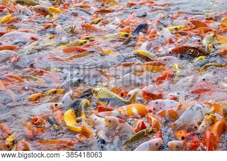 Close-up Of Tilapia And Koi Fish Or Fancy Carp Fish Swimming Waiting For Food In The Pond.