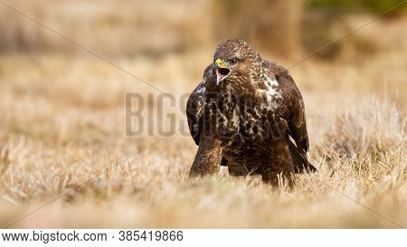Fierce Common Buzzard Screeching On Meadow In Autumn.