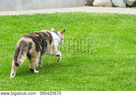 A Creeping Cat Walk On Grass. A Cat Just Before The Attack.