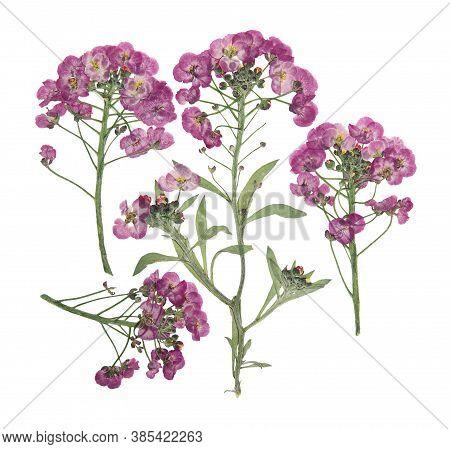 Pressed And Dried Flower Alyssum Maritimum Or Lobularia Maritima. Isolated On White Background. For