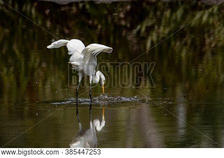 Egret Bird Looking Fish On Wetland Center In Kota Kinabalu, Sabah, Malaysia. Cattle Egret Bird Chill