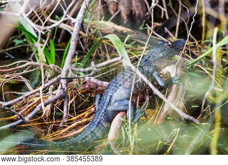 Young Alligator in Everglades National Park, Florida, USA