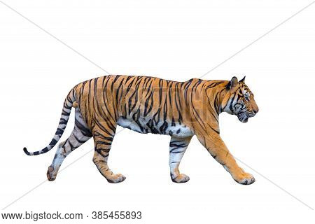 Royal Tiger (p. T. Corbetti) Isolated On White Background Clipping Path Included. The Tiger Is Stari