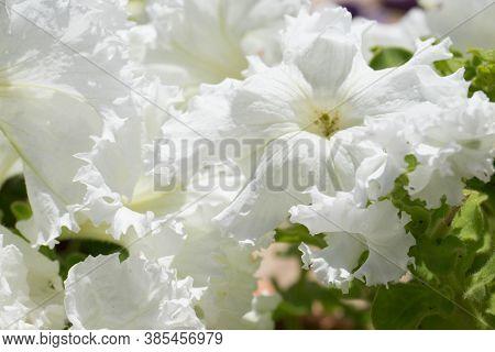 Petunias In The Tray, Petunia In The Pot, White Petunia
