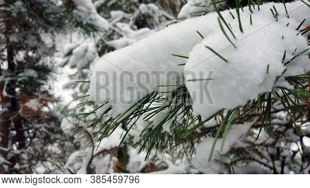 Winter. Snow On The Tree, Wite Forest