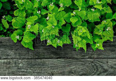 Emerald Green Blooming Herb Growing Upon Black Wooden Plank. Bright Green Garlic Mustard