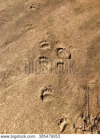 Footprints Of Human And Young Brown Bear On The Sand Surface