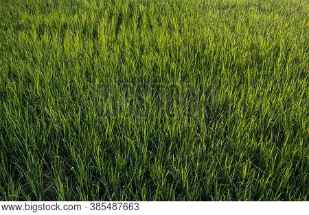 Top View Of Young Paddy Plants In An Agriculture Field