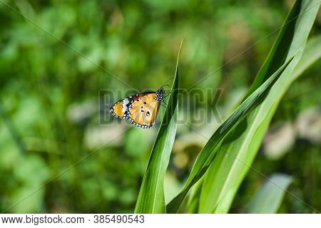 Red Orange Monarch Butterfly On Green Grass Plant Leaf. Close Up Macro Insect Wildlife Animal Nature