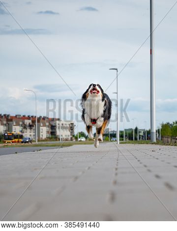 Portrait of happy run Australian Shepherd dog walking outdoors. Beautiful adult purebred Aussie Dog jump toward the camera.