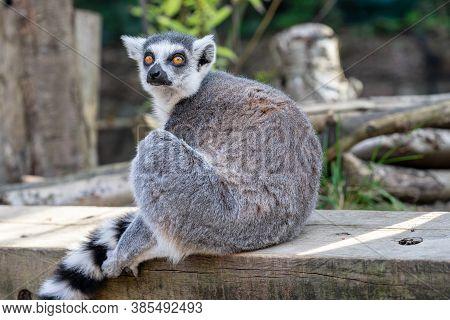The Ring-tailed Lemur, Lemur Catta Is A Large Strepsirrhine Primate And The Most Recognized Lemur Du