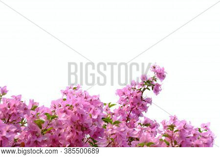 A Bouquet Of Sweet Pink Bougainvillea  Flower Blossom With Green Leaves On White Isolated Background
