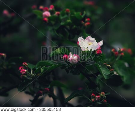 Pink Flower And Red Buds Of Apple Blossoms Close-up Against The Blurred Dark Green Leaves In The Spr
