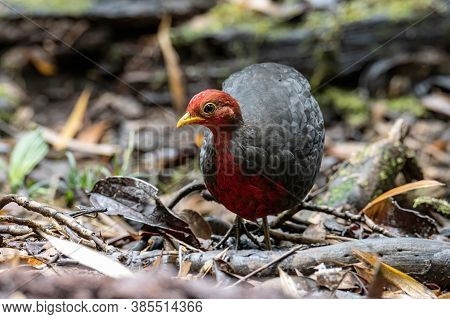 Nature Wildlife Image Bird Of Crimson-headed Partridge It Is Endemic To The Island Of Borneo