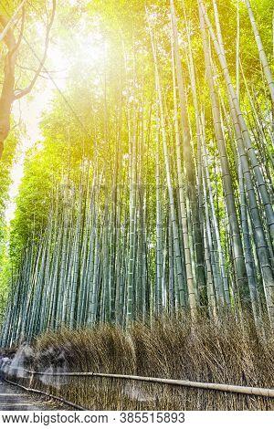 Green Sagano Bamboo Forest In Japan.
