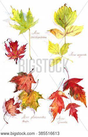 Set Of Autumn Maple Leaves Acer Platanoides And Acer Ginnala, Acer Negundo And Acer Saccharinum , Wa