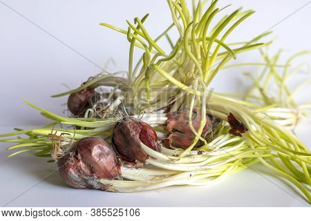 Shallots Are Sprouting Young Leaves Isolated On A White Background.