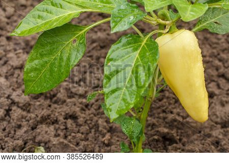 Bell Pepper With Water Drops Growing On A Bush In The Garden. Bulgarian Or Sweet Pepper Plant.