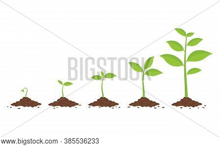 Plants Growing In The Ground. Phases Plant Growing. Planting Tree Infographic. Evolution Concept. Ve