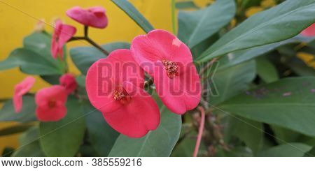 Red Euphorbia Flower-crown Of Thorn Plants. Close Up Of Crown Of Thorns Or Christ Thorn Flower - Eup