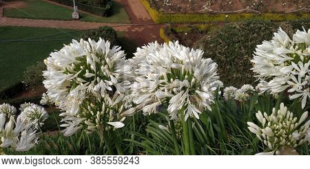 Giant Onion (allium Giganteum) Blooming. Field Of Allium / Ornamental Onion.blooming Purple Ornament