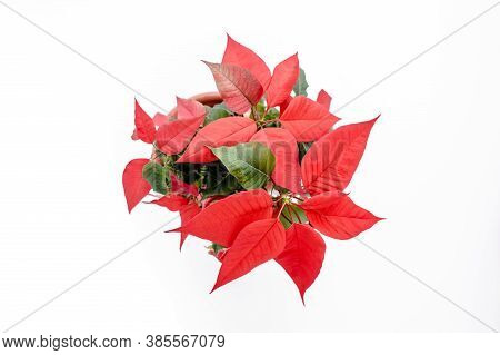 The Poinsettia Red Flowers Euphorbia, The Flower Of The Christmas, Close Up. Flower Isolated On Whit