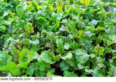 Beetroot Bright Leaves. A Bed Of Vegetables In The Garden. Foliage Of Beetroots Close-up. Vegetable