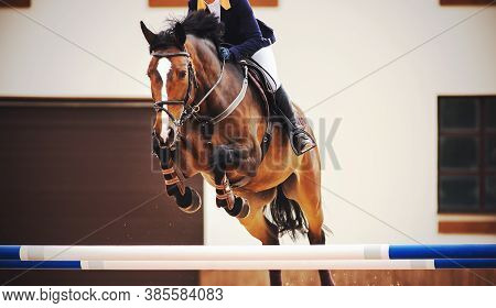 A Beautiful Bay Racehorse With A Rider In The Saddle Quickly Jumps The High Blue Barrier In A Show J