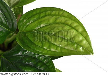 Close Up Of Leaf Of Tropical Plant Called  'monstera Sp. Peru'. Sometimes Also Called 'monstera Kars