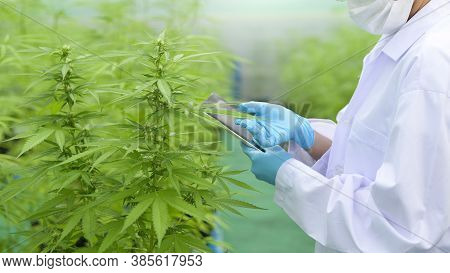 Concept Of Cannabis Plantation For Medical, A Scientist Using Tablet To Collect Data On Cannabis Sat