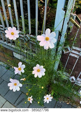 Blooming White/light Pink Cosmos Flowers On Beautiful Street Old Metal Fence And Door Background. Su