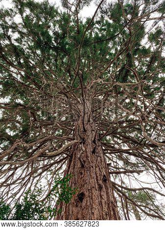 Giant Sequoia Tree In The Gardens Of Boyana Church In Boyana, Sofia, Bulgaria