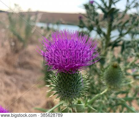 Close Up Blooming Bull Thistle Growing On A Lake Shore At Summer. Also Known As Spear Thistle, Cirsi