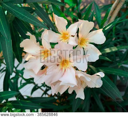 White Oleander Flower Blooming In Garden During Summer. Also Known As Nerium Oleander And Rose Bay