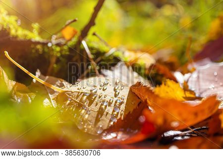 A Yellow Aspen Leaf With Dew Drops Lies On The Ground In The Autumn Forest. Bright Cozy Autumn Conce