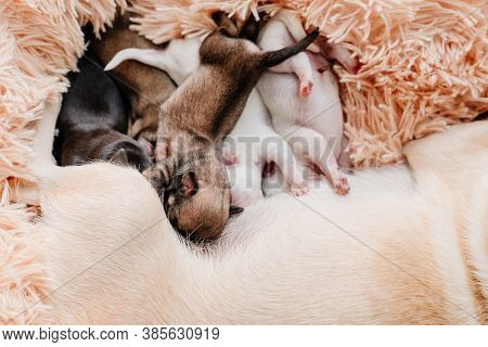Blind Multi-colored Newborn Chihuahua Puppies Eat Breast Milk. Breeding Purebred Dogs. Miniature Pet