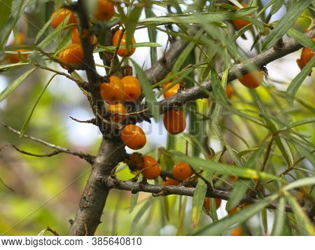 Sea Buckthorn Ripens In Autumn On A Tree In The Garden