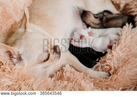 Mom Chihuahua Feed Newborn Puppies Breast Milk. Breeding Purebred Dogs. Miniature Pets. Cute Animals