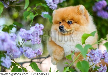 Close-up Of The Muzzle Of A Dog Breed Pomeranian Spitz  In Lilac.bushes With Lilac Flowers.furry Dog