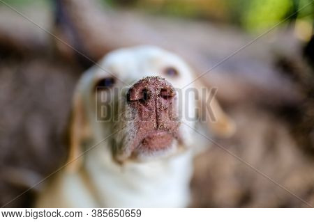 Close - Up Of A Labrador Dog's Nose In The Sand In Focus On A Blurry Background. The Face Of A Funny