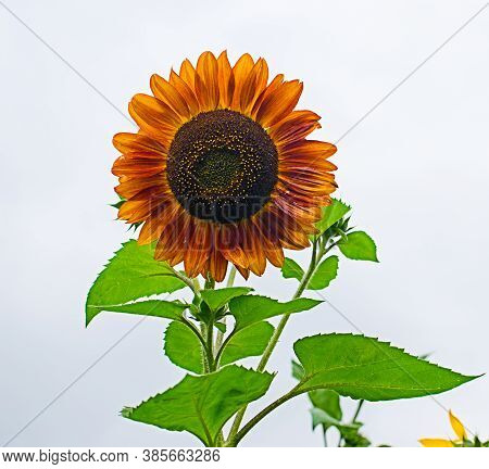 Sunflowers Grow Outdoors In Summer