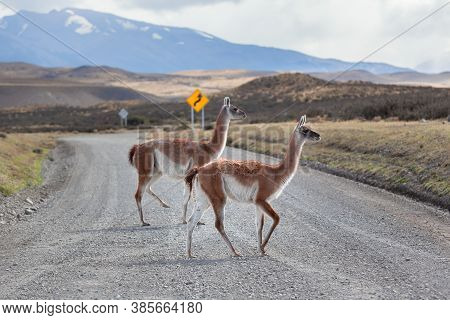 Guanaco Crossing The Road In Torres Del Paine National Park.