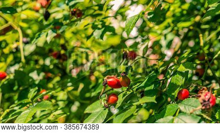 Rose Hips Medicinal Herbal Raw Materials,rose Hips Growing On A Tree,close-up
