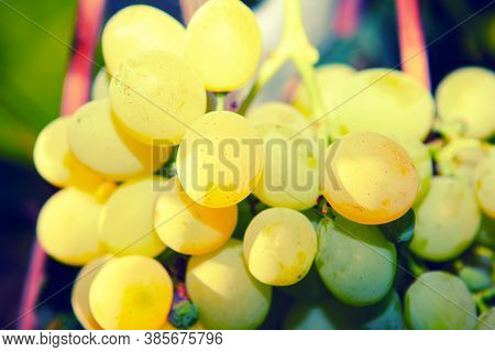 Riesling Grapes For Making Wines From Bone-dry To Dessert Wine Sweet