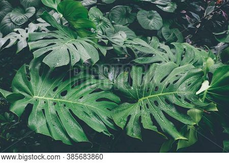 Monstera Leaves Or Swiss Cheese Plant Or Monstera Deliciosa In Nature, Tropical Green Leaves Backgro