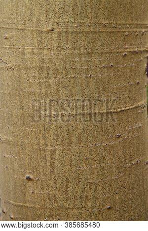 Closeup Of Quaking Aspen (populus Tremuloides) Tree Trunk Texture In Beartooth Mountains, Montana
