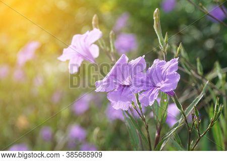 Close Up Purple Ruellia Tuberosa Flower In Nature Garden