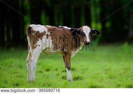 Calves Calf And Cows On The Farm. Calf On The Green Meadow