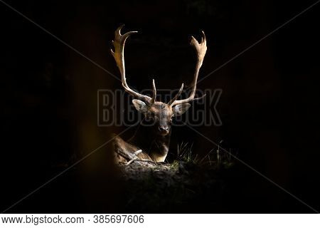 Fallow Deer Stag Lying In Forest Illuminated By The Sunlight.