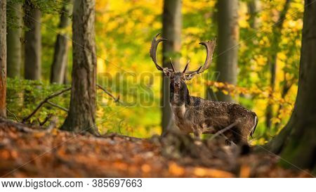 Majestic Fallow Deer Stag Standing In Forest In Autumn.